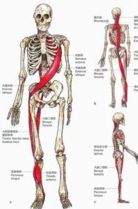 人間の骨格と筋膜連鎖