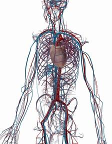 人間の心臓と循環器系